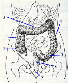 anatomie du colon