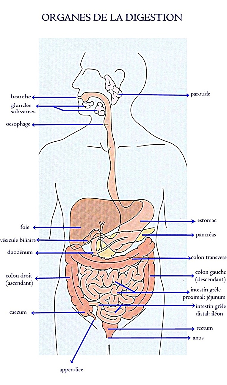 Anatomy and mechanisms of the digestion - Surgery of the Digestif ...
